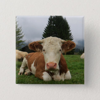 Close up of a brown and white cow laying down pinback button