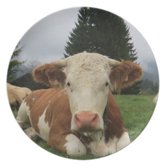 Close up of a brown and white cow laying down plate