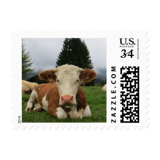 Close up of a brown and white cow laying down postage