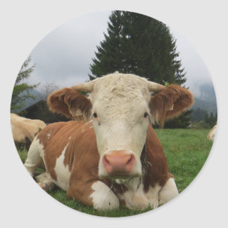 Close up of a brown and white cow laying down round stickers