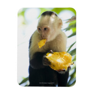 Close-up of a capuchin monkey eating a fruit magnet