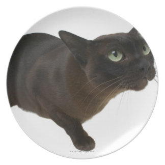 Close-up of a cat 2 dinner plate