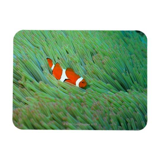 Close up of a clown anemone fish, Okinawa, Japan Magnet