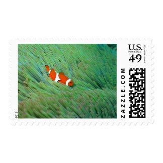 Close up of a clown anemone fish, Okinawa, Japan Postage Stamp