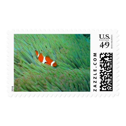 Close up of a clown anemone fish, Okinawa, Japan Postage