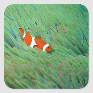 Close up of a clown anemone fish, Okinawa, Japan Square Stickers