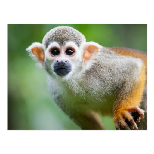 Close-up of a Common Squirrel Monkey Post Cards