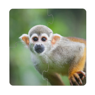 Close-up of a Common Squirrel Monkey Puzzle Coaster