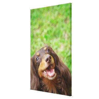 Close-up of a Dachshund dog Canvas Print