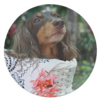 Close-up of a Dachshund dog sitting in a basket Dinner Plate