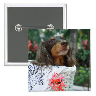 Close-up of a Dachshund dog sitting in a basket Pinback Button
