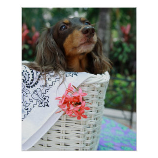 Close-up of a Dachshund dog sitting in a basket Poster