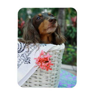 Close-up of a Dachshund dog sitting in a basket Rectangular Photo Magnet