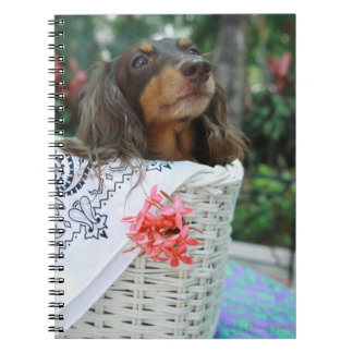 Close-up of a Dachshund dog sitting in a basket Spiral Notebook