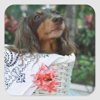 Close-up of a Dachshund dog sitting in a basket Square Sticker