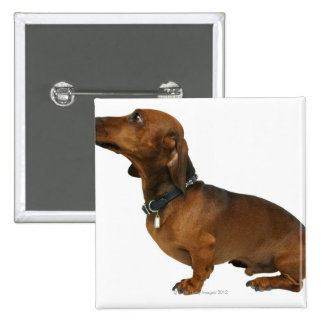 Close up of a dachshund pinback button