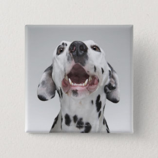 Close up of a Dalmatian dog Button