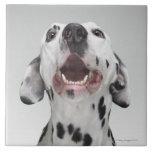 Close up of a Dalmatian dog Large Square Tile