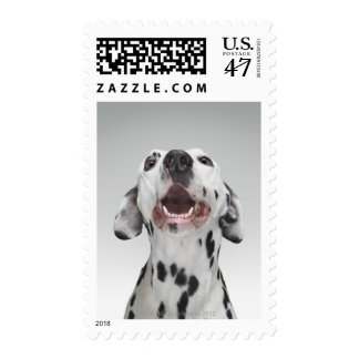 Close up of a Dalmatian dog Postage