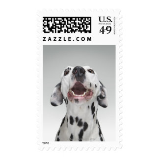 Close up of a Dalmatian dog Stamps