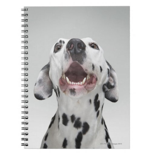 Close up of a Dalmatian dog Spiral Note Books