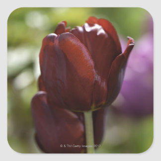 Close up of a double red tulip in a spring square stickers