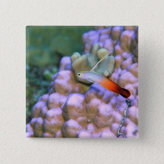 Close up of a fire dart fish, Okinawa, Japan Button