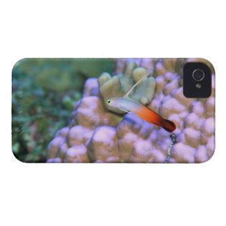 Close up of a fire dart fish, Okinawa, Japan Case-Mate iPhone 4 Case
