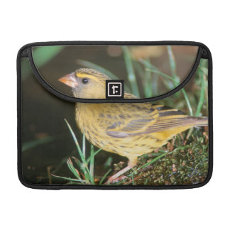 Close-Up Of A Forest Canary (Serinus Scotops) MacBook Pro Sleeve