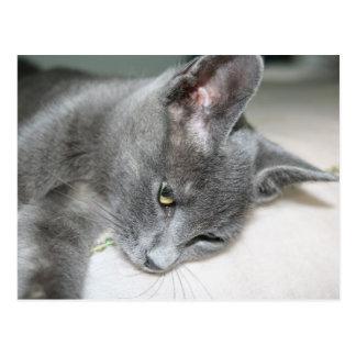 Close Up Of A Grey Kitten Postcard