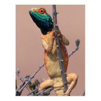 Close-Up Of A Ground Agama (Agama Aculeata) Postcard