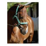 Close-up of a horse 4 postcard