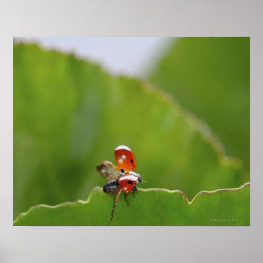 Close-up of a ladybug on a leaf poster