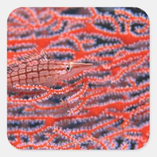 Close up of a long nose hawk fish, Okinawa Sticker