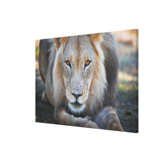 close up of a  male lion, Panthera leo, Canvas Print