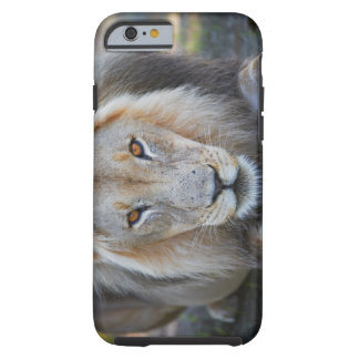 close up of a  male lion, Panthera leo, iPhone 6 Case