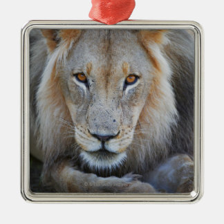 close up of a  male lion, Panthera leo, Metal Ornament
