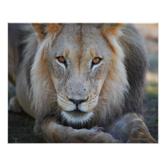 close up of a  male lion, Panthera leo, Poster