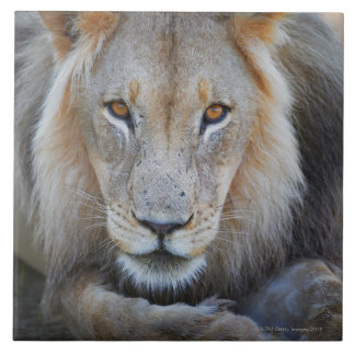 close up of a  male lion, Panthera leo, Large Square Tile