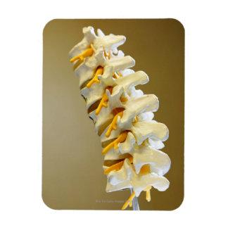Close-up of a medical model of vertebrae of the magnet