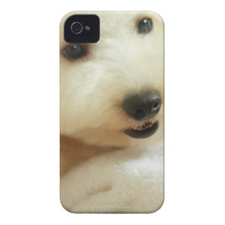 Close-up of a miniature poodle 2 iPhone 4 cover