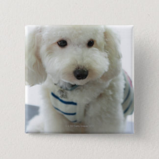 Close-up of a miniature poodle button