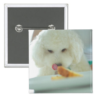 Close-up of a miniature poodle eating food button