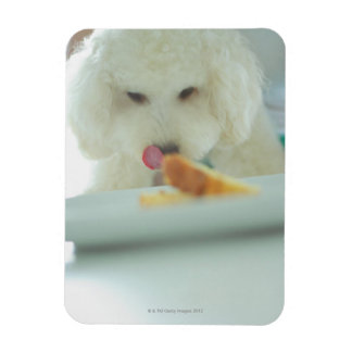 Close-up of a miniature poodle eating food magnet