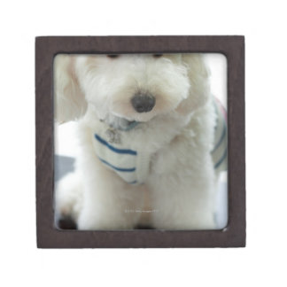Close-up of a miniature poodle jewelry box