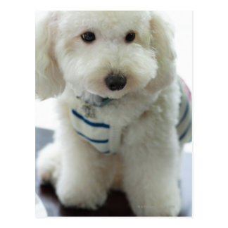 Close-up of a miniature poodle postcard