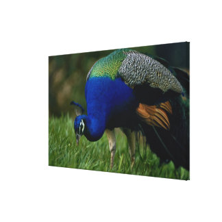 Close-up of a peacock 2 canvas print