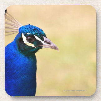 Close-up of a peacock 2 drink coaster