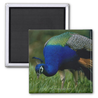 Close-up of a peacock 2 inch square magnet