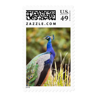 Close-up of a peacock stamp